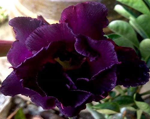 No89 Black Sheep, Desert Rose Adenium Obesum, Mature Plant, New Hybrid, New Arrival, Very-Rare, Limited Quantities!! New-New-New!!!