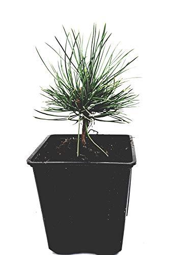 Seedeo® Zirbel-Kiefer/Zirbe (Pinus cembra) ca. 10 cm hoch