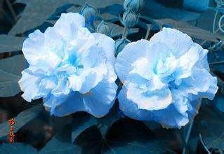 Graines Multicolor Hibiscus Hibiscus rosa-sinensis plante bonsaï les graines de fleurs de 100% 100pcs originaux