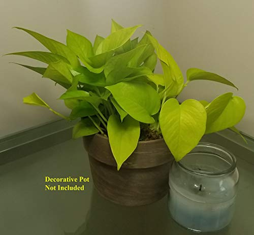 Pothos Pearl and Jade in 6 inch Grower Pot