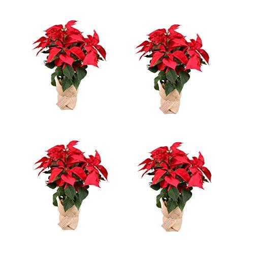 Planta Navidad - PACK 4 Plantas de Navidad - Flor de pascua