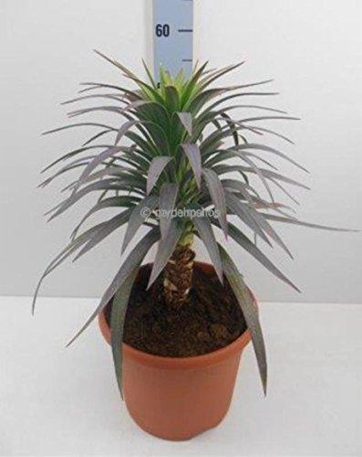 Lila Palmlilie - Yucca Aloifolia Purpurea - 50-60cm Topf Ø 26cm, 8,4 Ltr.