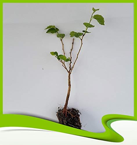 Morus alba (Mûrier blanc) - Plante