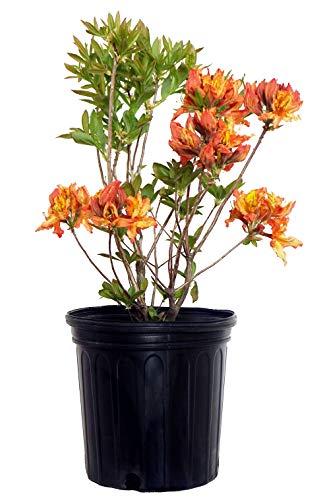 Azalea 'Gibraltar' (Exbury Azalea) Shrub, orange flowers, #2 - Size Container