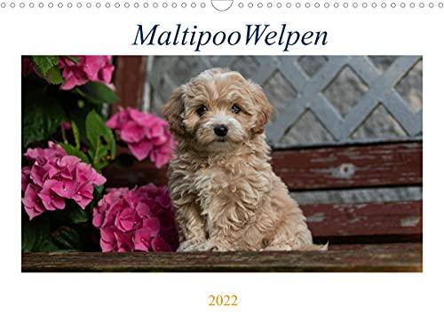 Maltipoo Welpen (Wandkalender 2022 DIN A3 quer)