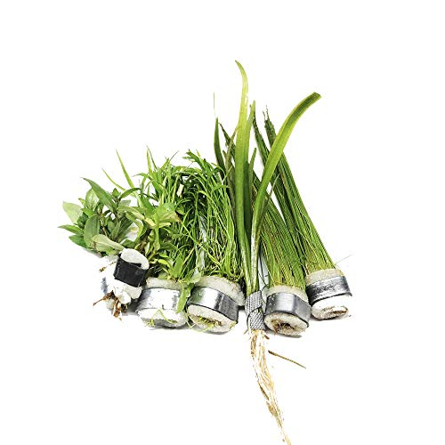 Mainam Live Aquarium Plants The Best 2017/4 Species - Dwarf Hairgrass, Micro Sword, Dwarf Sagittaria Subulata and Staurogyne Repens