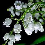 12 piezas de bulbos de lirio blanco de los valles Convallaria Majalis Bell Orquídea flor bulbos perennes para plantación de jardín al aire libre