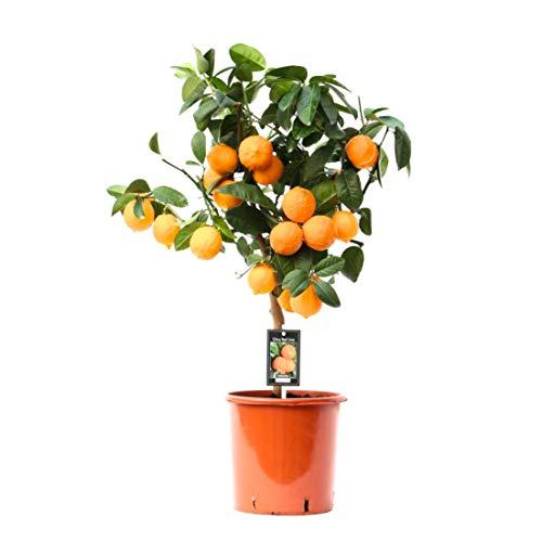 Planta de interior – Citrus Red Lime – Altura: 55 cm