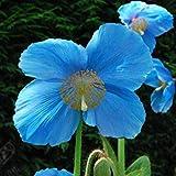 - メコノプシス属 'Lingholm'(EXグランディス)種子