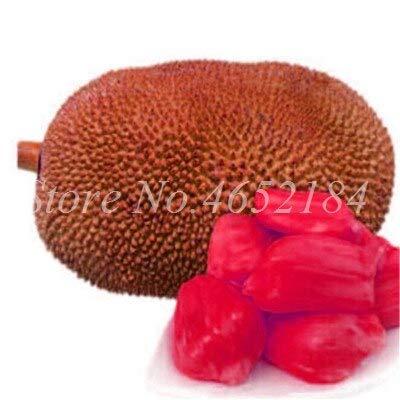 Ferry 5pcs / Lot Frische Jackfrucht Bonsai Tropical Seltene Riesenbaum-Pflanze Obst Pot Garten Neue große blühende Pflanze Pflanzen: 6