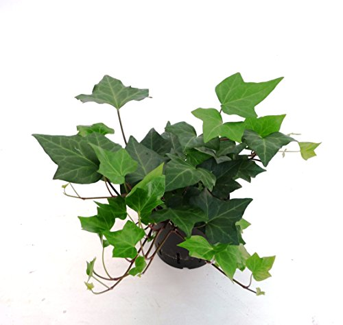 Efeu, Hedera helix Montgomery, Zimmerpflanze in Hydrokultur, 13/12er Kulturtopf, 18-25 cm