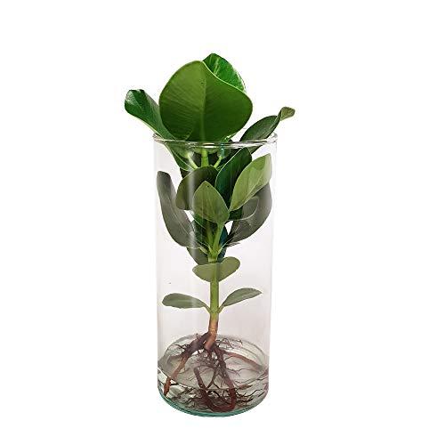 Zimmerpflanze von Botanicly – Balsamapfel im Designerglas als Set – Höhe: 35 cm – Clusia