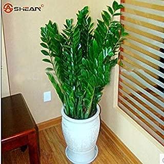 ENVIDESO Zamioculcas Zamiifolia Seeds Money Tree Plants Seeds 100Pcs/Bag
