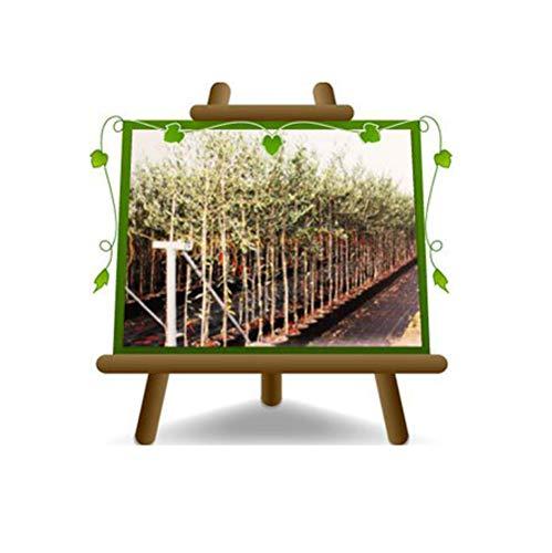 Olivier Olivenbaum Oliven Leccino - Obstpflanze auf Blumentopf 30 Kofferraum vom 10 Baum Höhe max 180 - 6 Jahre Anbau Italien
