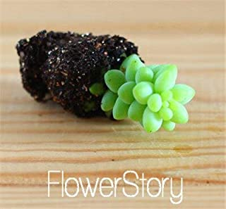 Lithops Pseudotruncatella, Genuine lithops Bonsai, lithops Potted Bonsai - 100 pcs/Bag,#T5T1UT : 18