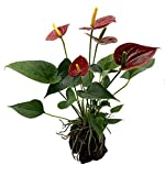 Flaming Red Hawaiian Anthurium Volcano Rock Planter - Easy to Grow House Plant