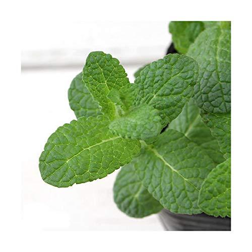(観葉植物)ハーブ苗 ミント アップルミント 3号(1ポット) 家庭菜園