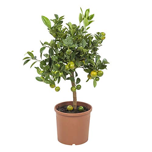 Orange Wohnung | calamansi | Zimmerpflanze | Höhe 75 cm | Topf 21 cm | einfache Wartung