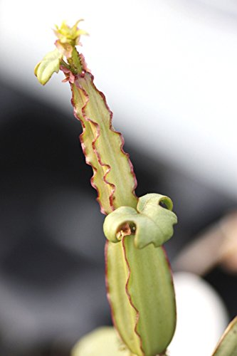 5 Samen Cissus quadrangularis, Pflanze Grape Vine Saftige Climber Seed