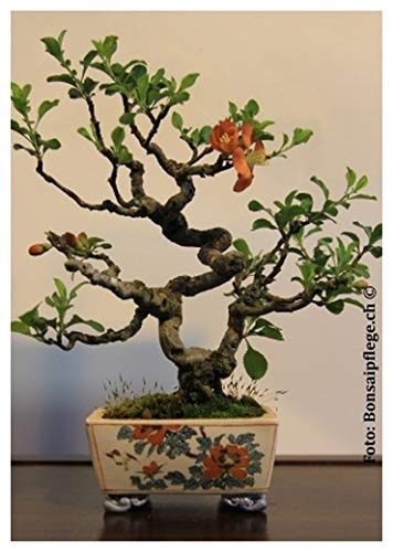 TROPICA - Bonsai-Japanische Zierquitte (Chaenomelis japonica) - 50 Samen