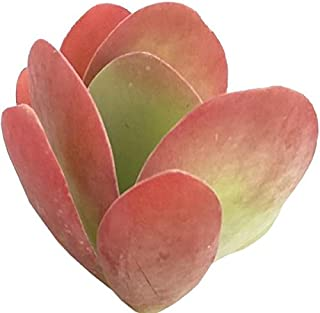 Best million hearts plant Reviews