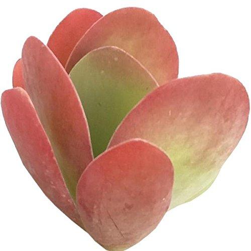 Kalanchoe Flapjacks Paddle Plant Hearts Valentine Plant Succulent (4 inch)