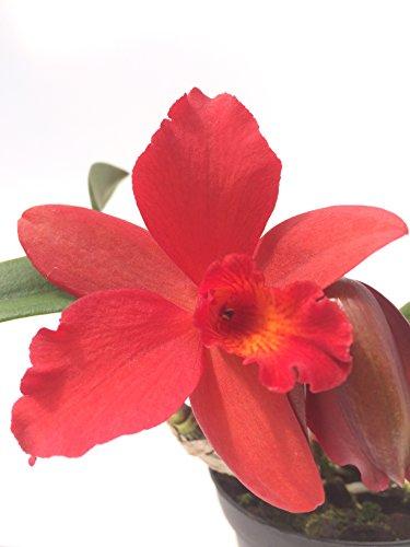 1 blühfähige Orchidee der Sorte: Slc Circle of Live Hybride, traumhafte Orchidee vom deutschen Züchter