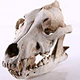 aasdf Resin Coyote Skull Sculptures,Wolf Taxidermy Animal Head Model Figurines Antique Decoration Gifts For Hunting Cabin Bar Tabletop Decor A 20x8x14cm(8x3x6inch)