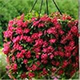 Importati 100 pc Misti Piante Pervinca Bonsai Fiore Vinca Copri Jardin Blooming Flore Vaso Mini Garden Facile da Coltivare: 3
