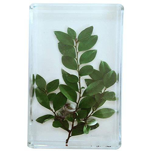 Nfudishpu Esemplare pianta - Volantino in Palissandro Modello Esemplare pianta - Esemplari pianta in Resina Trasparente Incorporati Esemplari didattici - Lo Strumento didattico Modello Biologico