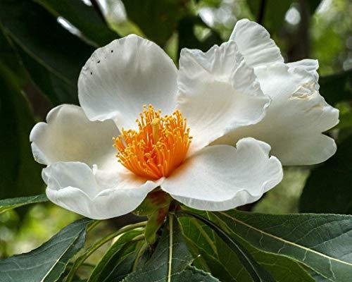 Potseed Keimfutter: Franklinia alatamaha 5 Samen geben Schiff frei