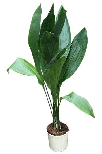 Zimmerpflanze für Wohnraum oder Büro – Aspidistra elatior – Schusterpalme 85cm - GROSSE PFLANZE 85cm hoch