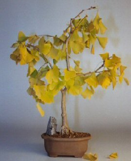 Bonsai Boy's Ginkgo Bonsai Tree ginkgo Biloba