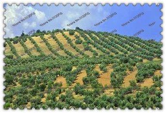 arbre 50PCS bonsaï Bonsai Olive (Olea europaea) Graines, Bonsai Mini Olive Tree, Olive Bonsai frais Arbre Exotique Graines