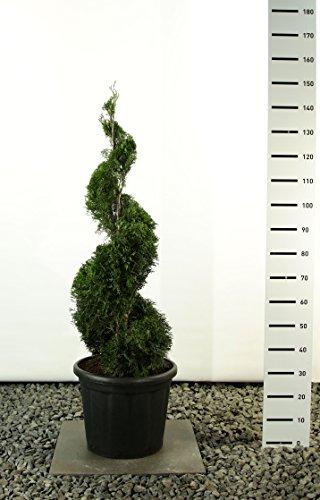 Spirale Formschnitt - Lebensbaum - Thuja occidentalis smaragd - 125-150cm im 20 Ltr. Topf
