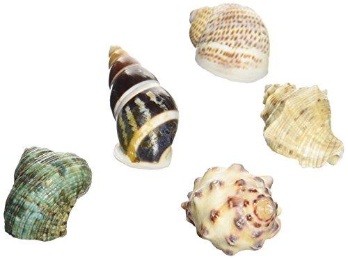 オカヤドカリの 宿替え貝殻S