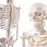 S24.1175 Modello di scheletro umano, 85cm