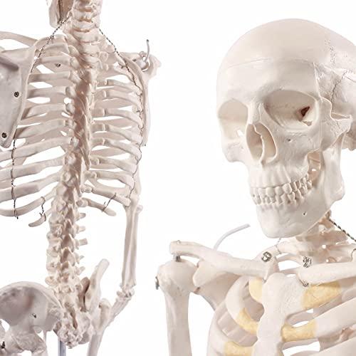 Cranstein Mini-Skelett Modell, 85cm - Anatomie-Modell als Lernmodell oder Lehrmittel (anatomisch)
