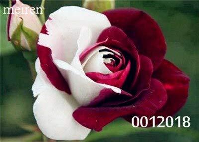 Kalash New 100pcs Holland Rose Blumensamen für Garten Weiß Rot