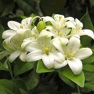 ORANGE JASMINE JESSAMINE Murraya exotica 50 seeds
