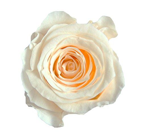Verdissimo Cabeza de Rosa Preservada 16 Unidades Tamaño Princess, Diametro 1,5 Altura 2-2,5 cm, Champagne