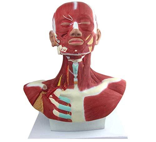 La Musculatura de la Cabeza y el Cuello con Vasos sanguíneos Muestra los músculos de la Cabeza, la Parte Superior del Pecho y el Cuello en Detalle Herramienta de enseñanza médica