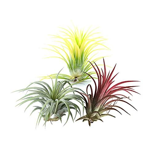 Trio de Tillandsias de Color Rojo, Verde y Amarillo Pack de Plantas del Aire o Claveles del Aire Tillandsia Ionantha
