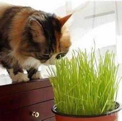 100 Pièces / sac Graines Kittens Herbe, Les chats aiment manger herbe de blé peut être à plusieurs reprises Récoltés Graines de blé