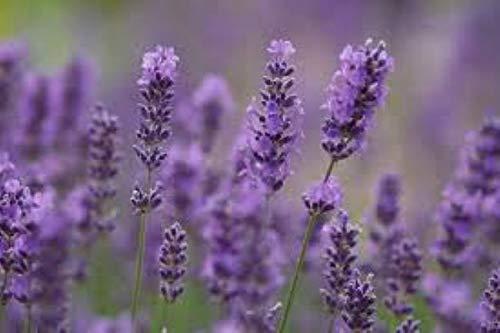 Lavendel 25 Stück Lavendula angustifolia Hidcote Blue winterharte Staude T9x9