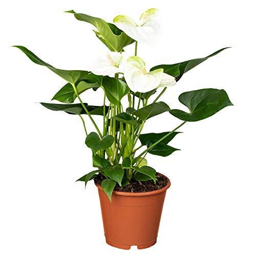 Florado weiße Flamingoblume, Anthurieae, echte Zimmerpflanze, Pflanze, Topfgröße 12cm