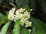 Pittosporum tobira Mock Orange Chinesischer Klebsamen 10 Samen