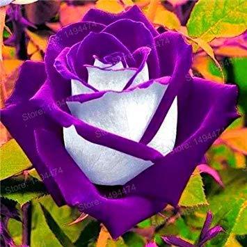 Vistaric 200 pcs Rare Mixte Couleur Rose Graines arc-en-rose rose graines Plante vivace fleurs bonsaï pot Maison Jardin Décoration Fleur graines Bourgogne