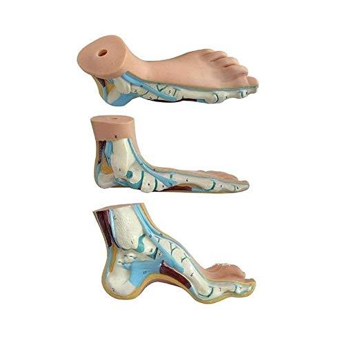 LINKLANK Linkank Menschliches Fußmodell Normal Fuß Flachfuß Bogenfuß Modell für seltene und praktische Fuß Anatomie Modell in Operationen Unterricht