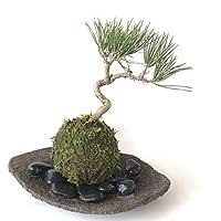 置くだけで温かみを感じるモダンな苔玉【黒松の苔玉・くらま岩器・敷石セット】 (黒石)